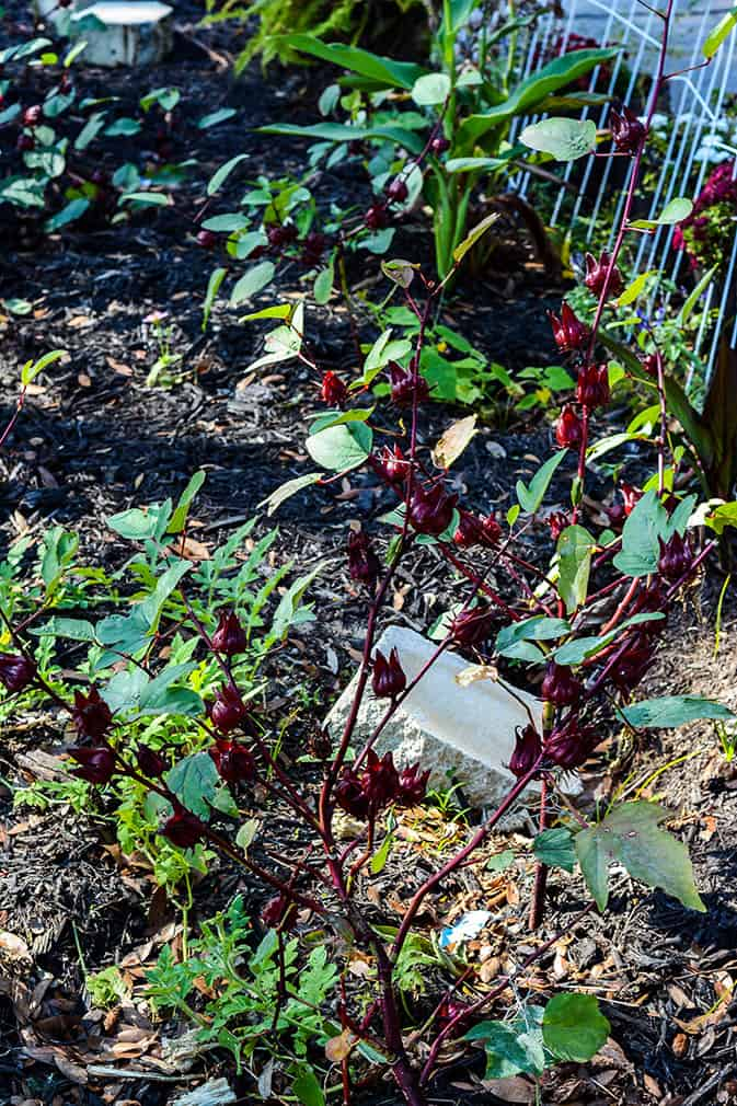 Jamaican Sorrel Plant to make sorrel drink