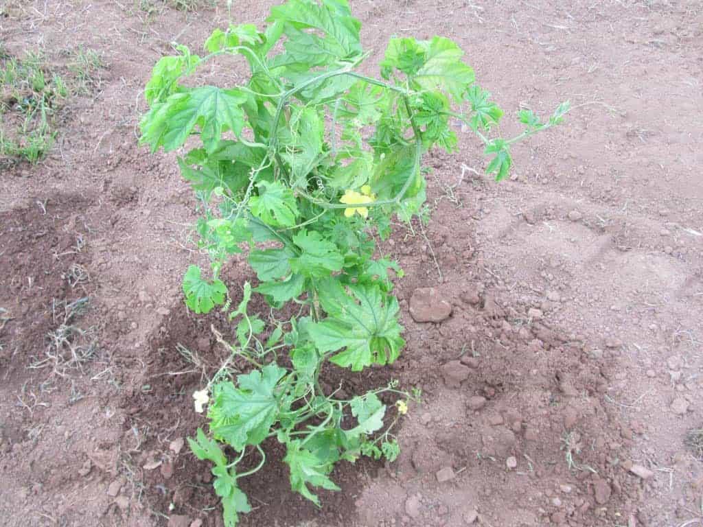 Bitter Melon Plant/ Cerasee