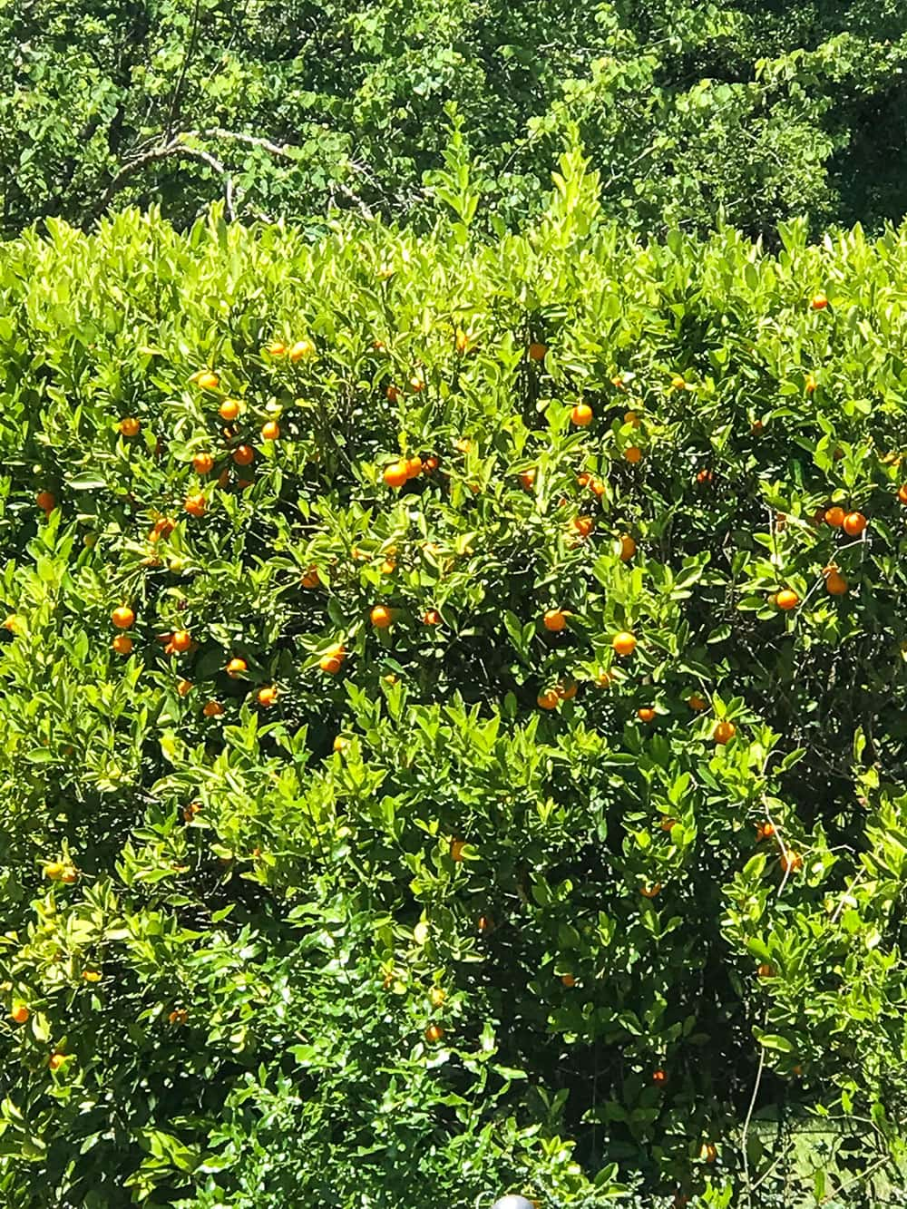 Kumquat tree loaded with kumquats, for kumquat marmalade