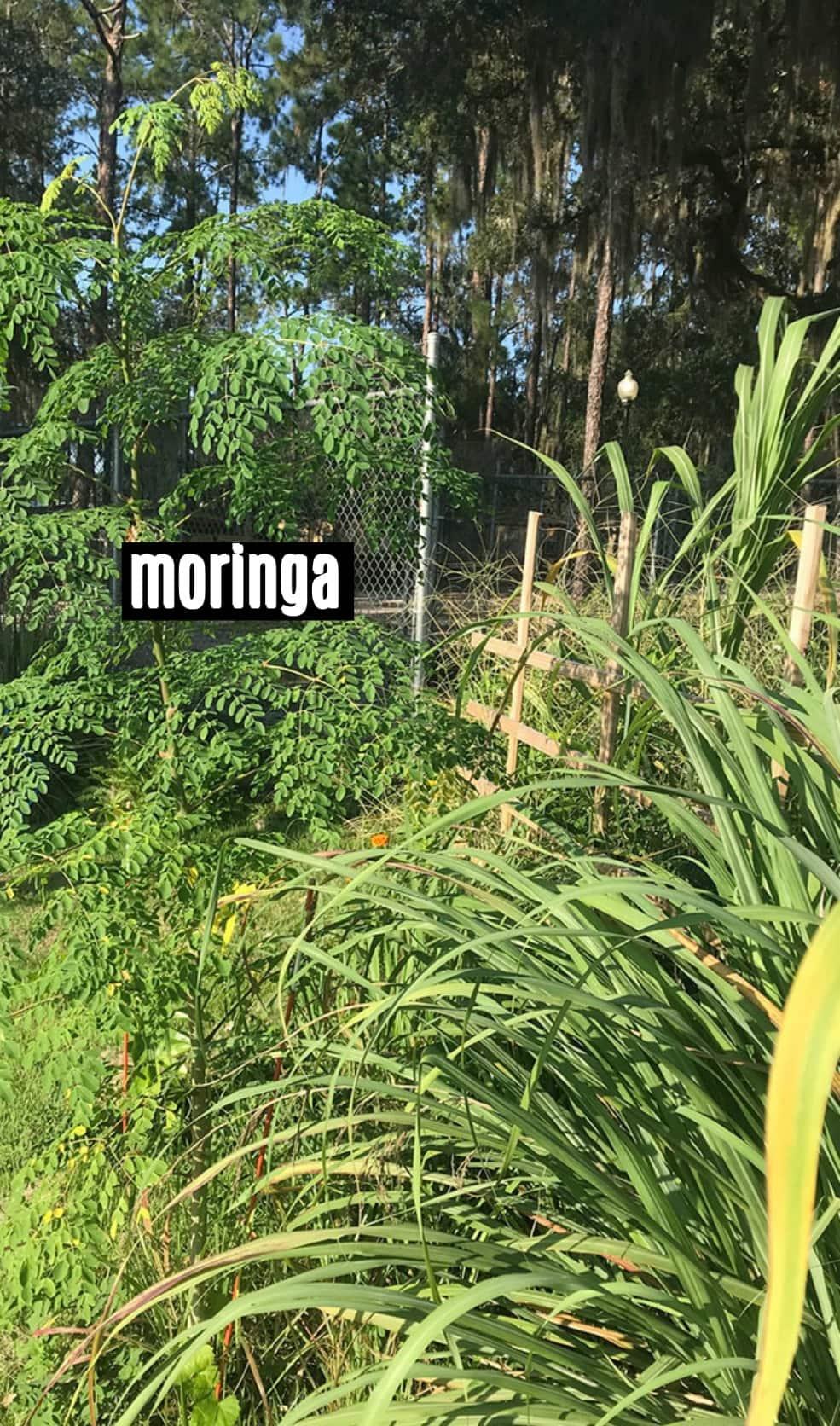 A tall moringa tree in my garden