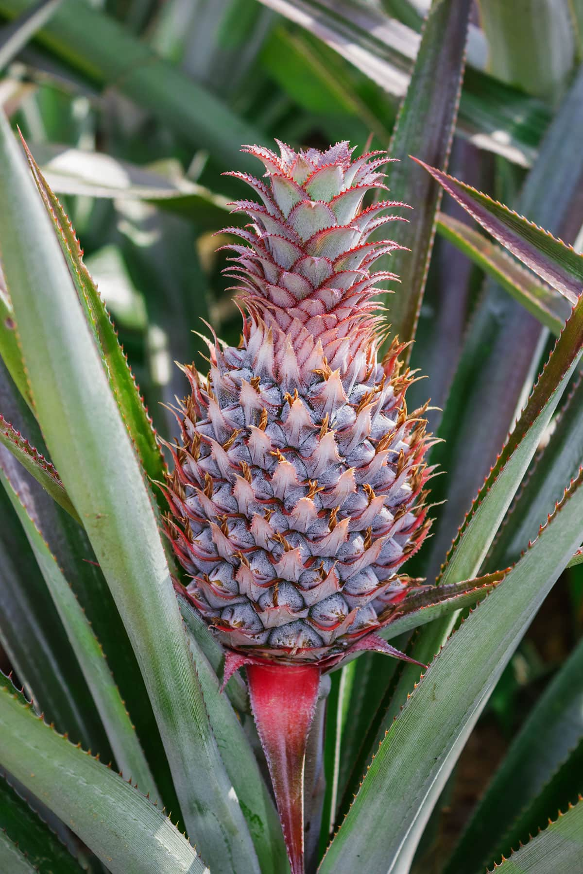 Pineapple plant growing with a pineapple