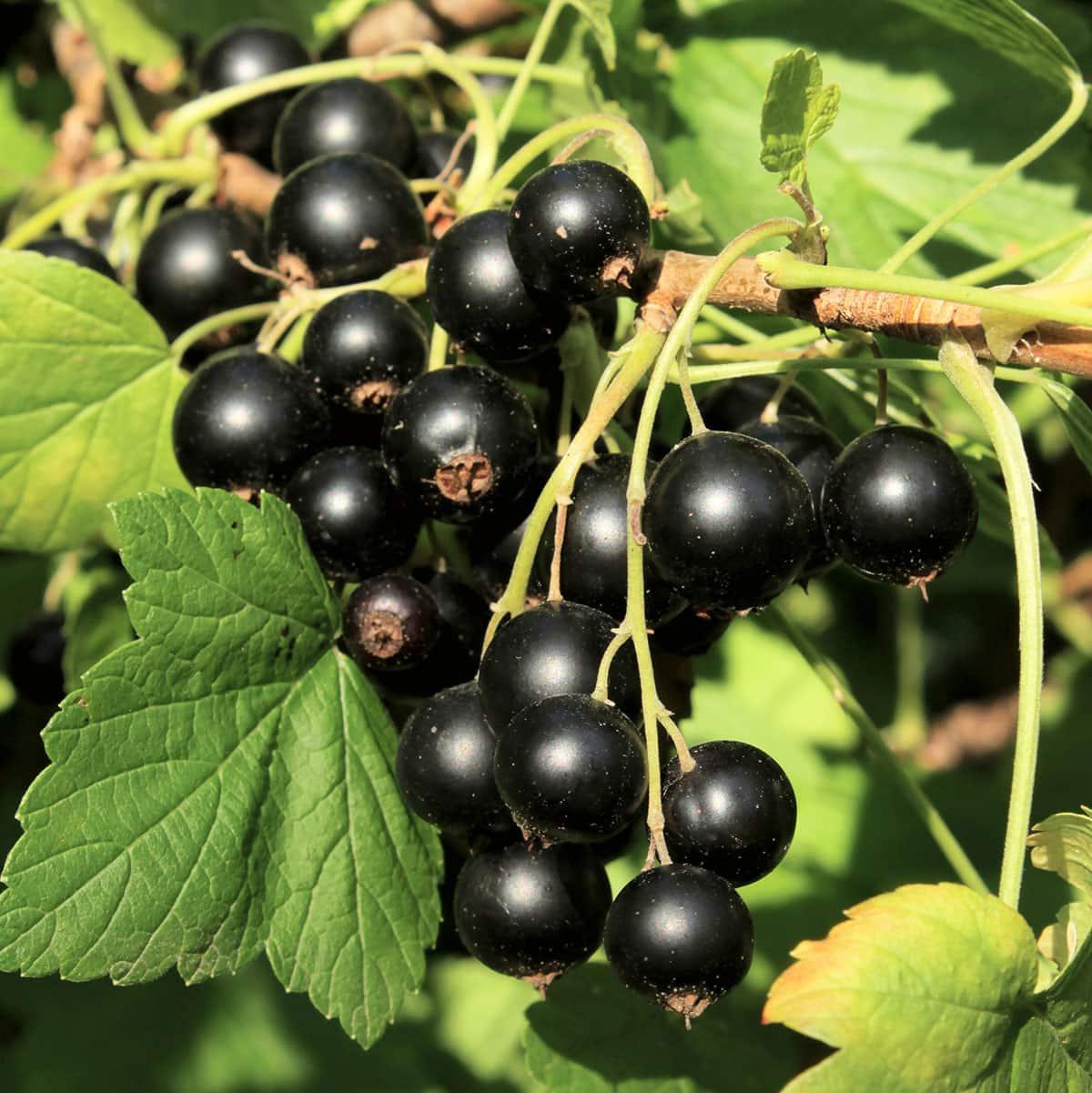 black currant bush