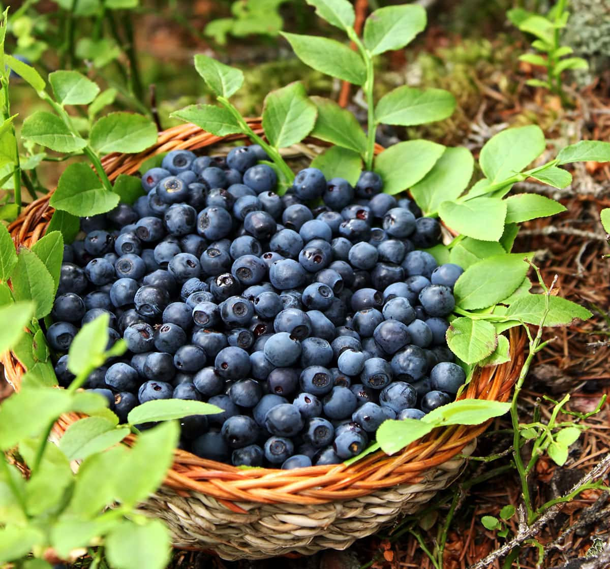 blueberries in a basket on the ground