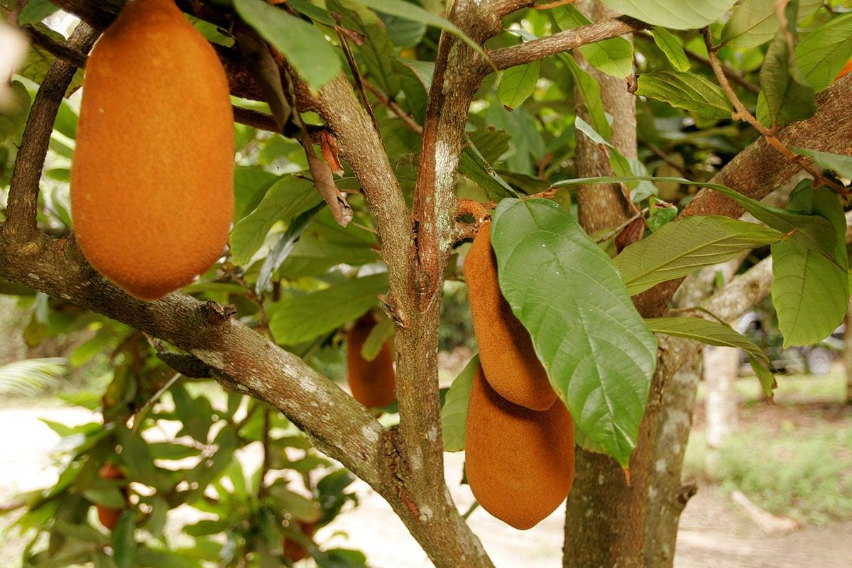 cupuacu fruit on a tree