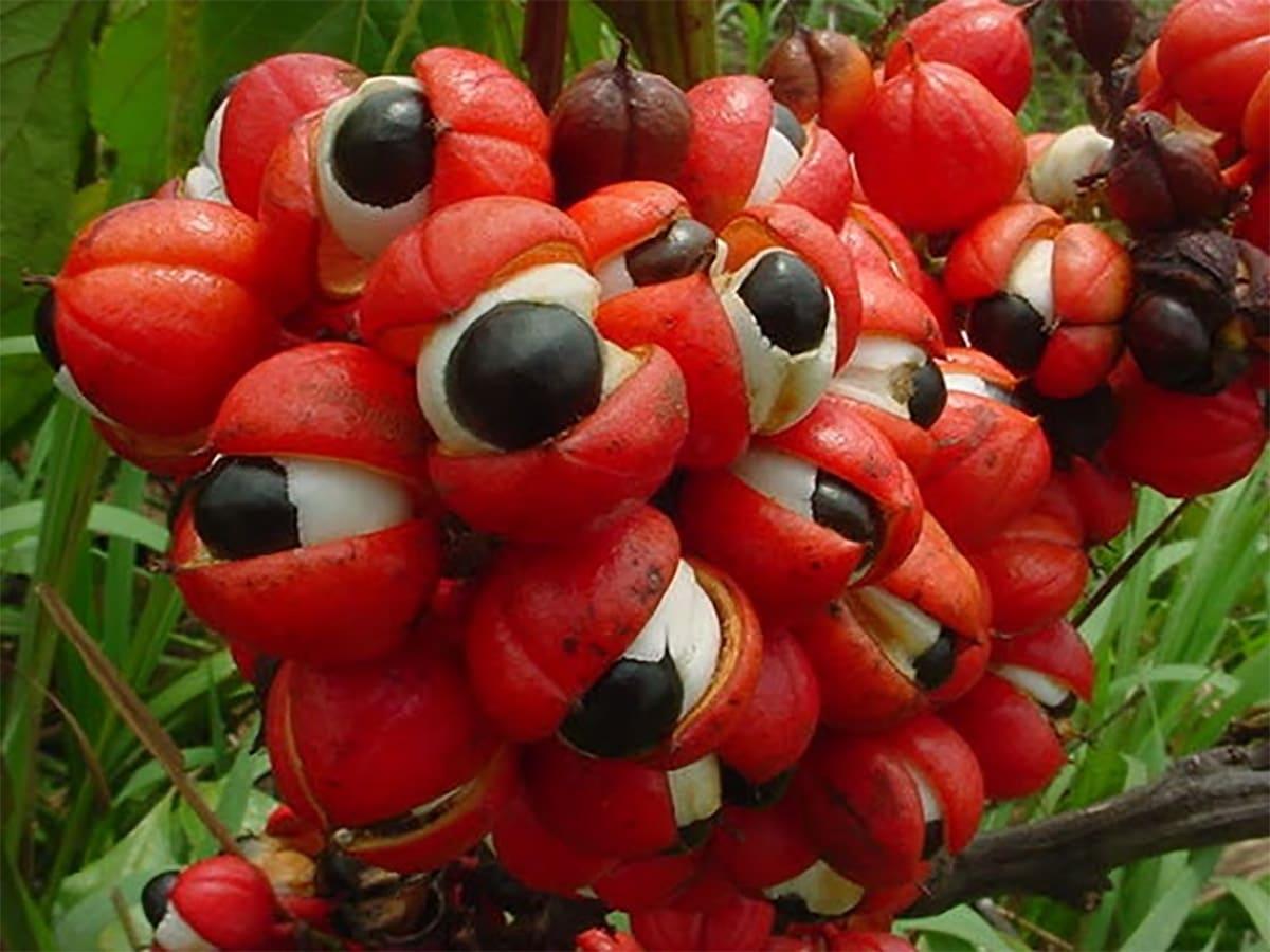 guarana opened in a bunch