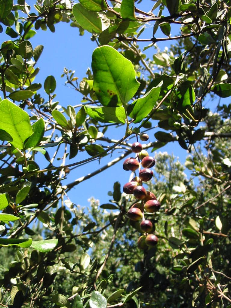 Lardizabala fruits on tree