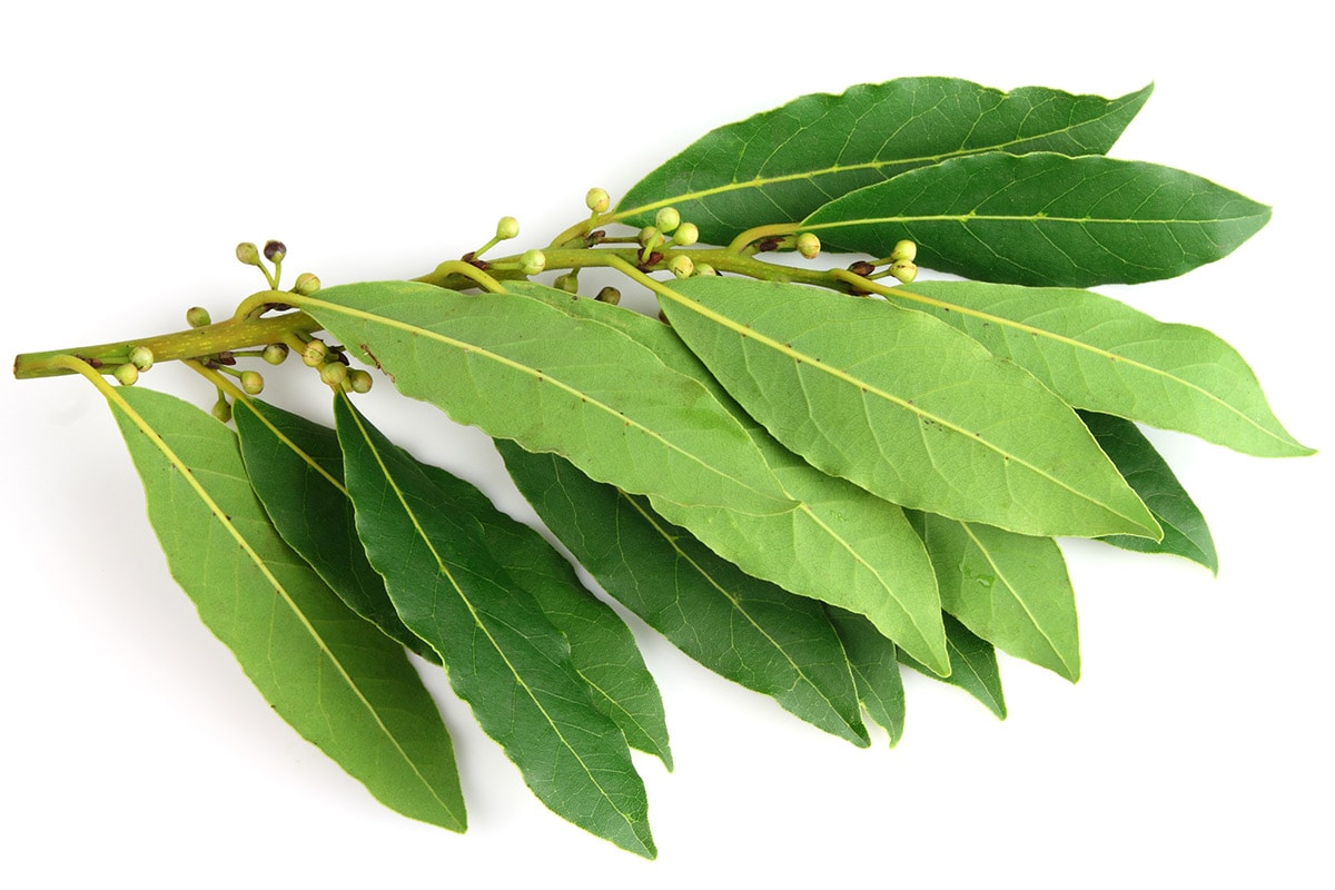 bay leaves isolated on a white background