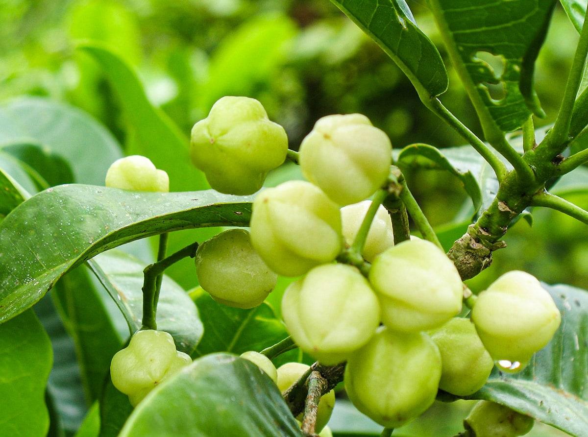 lemon aspen tree