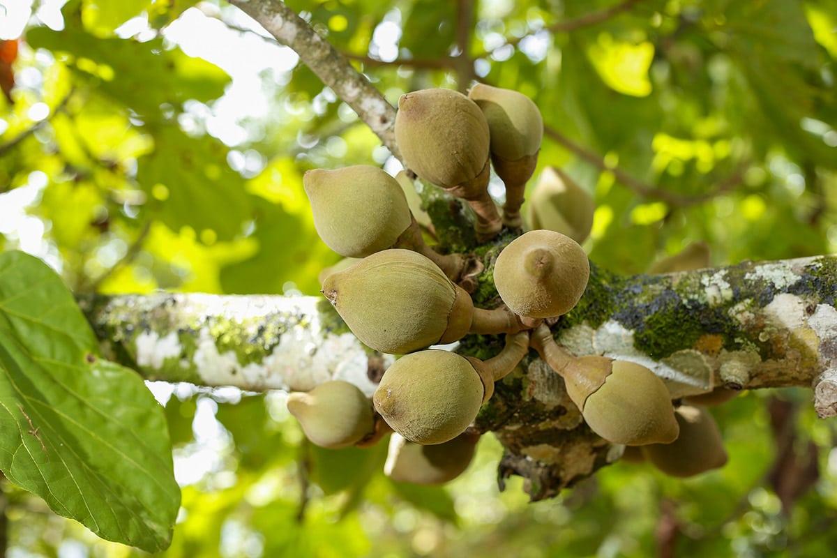 Quararibea on tree