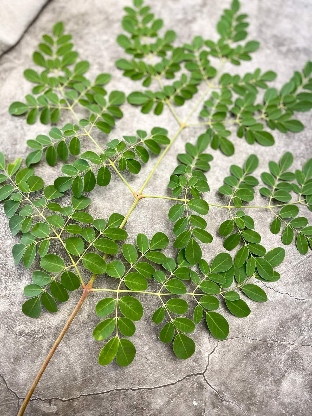 moringa leaves benefits on grey background