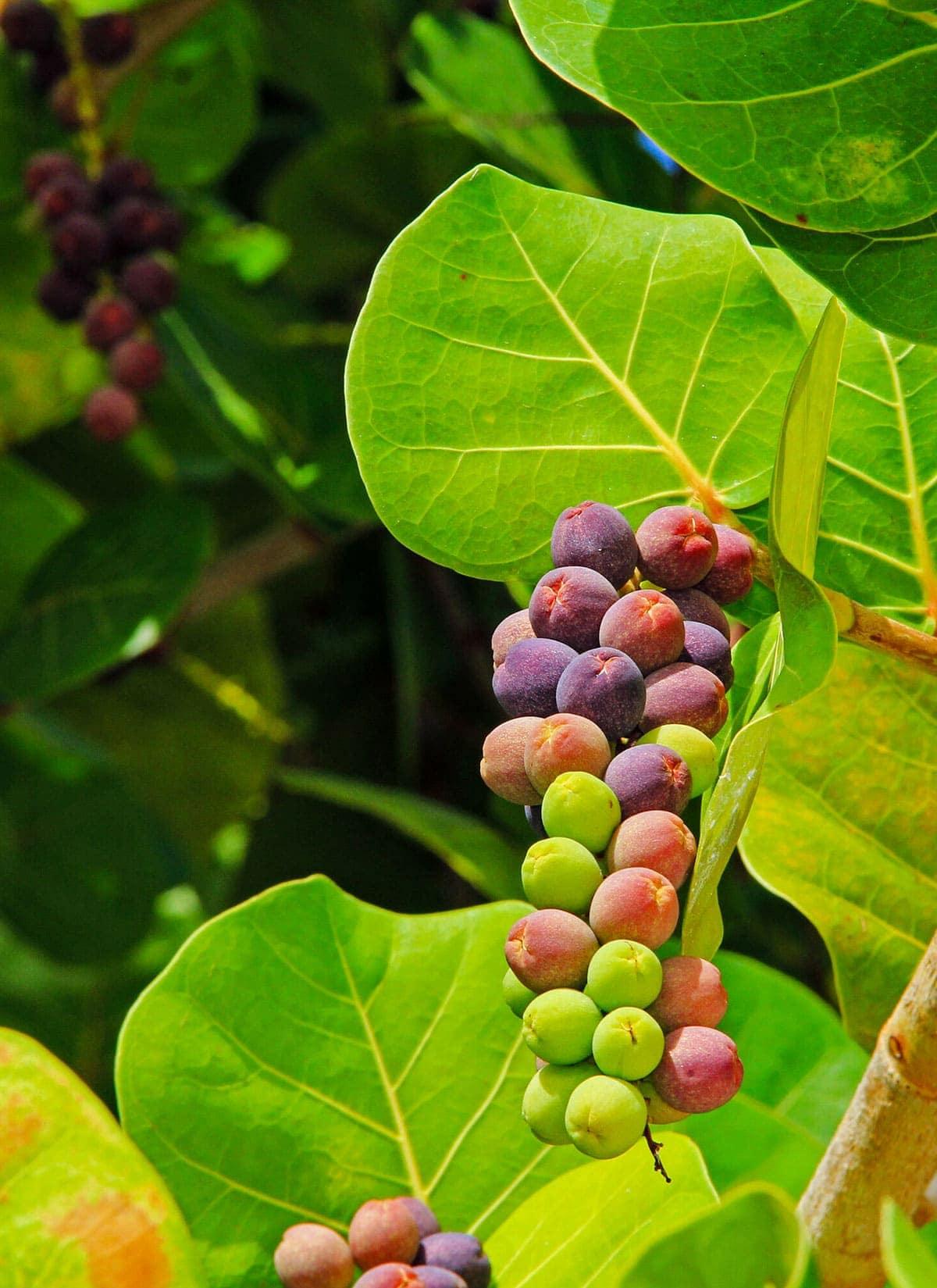 seagrape fruit
