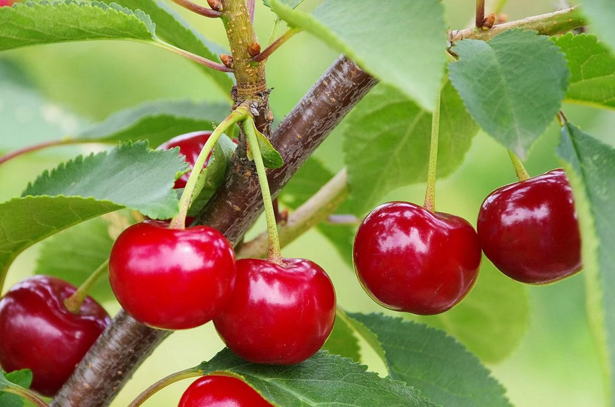 sour cherry tree