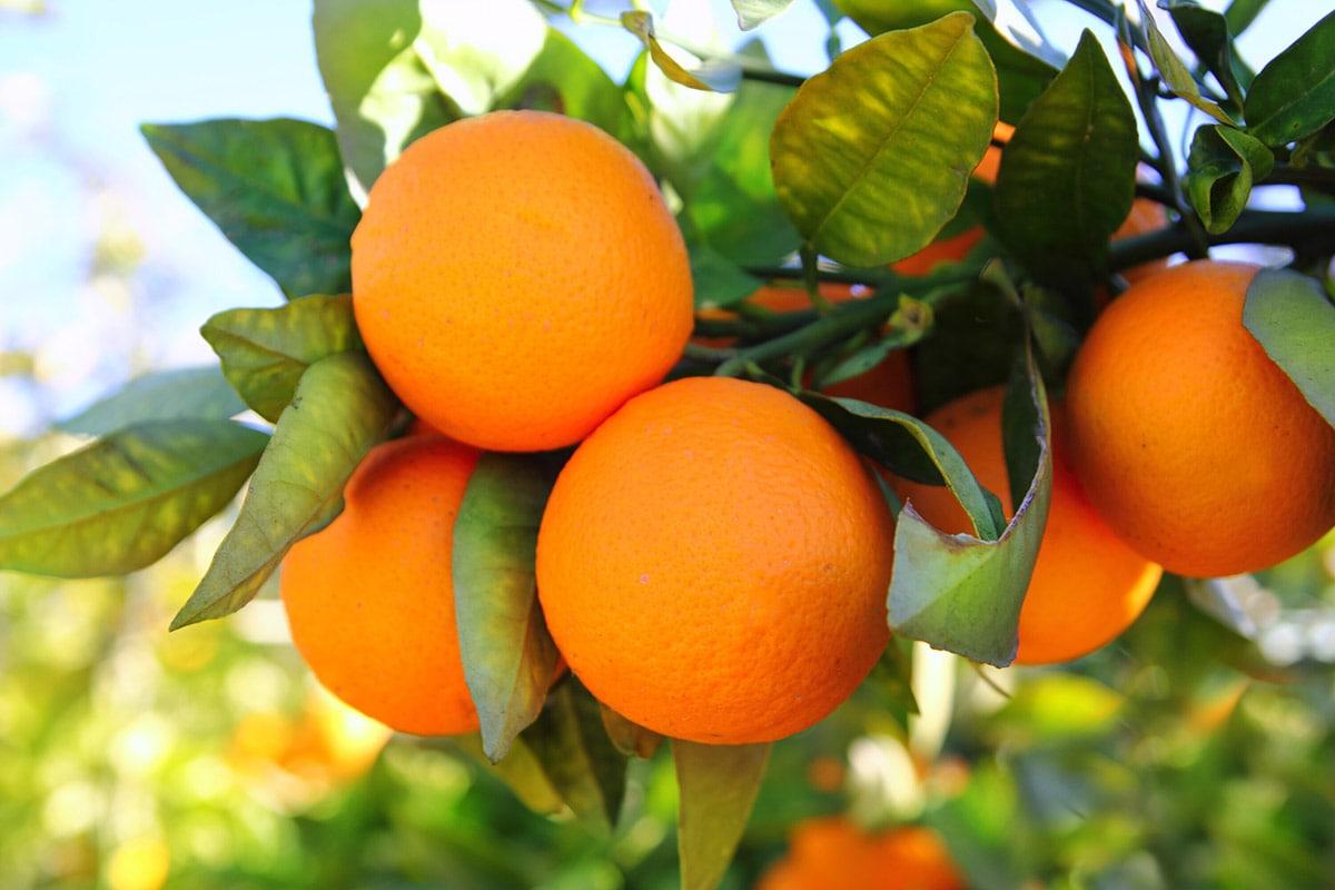 Valencia oranges on tree