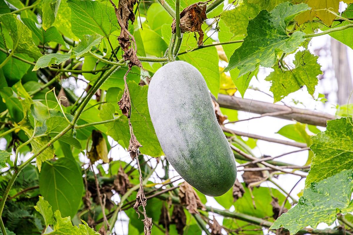 winter melon on a vine