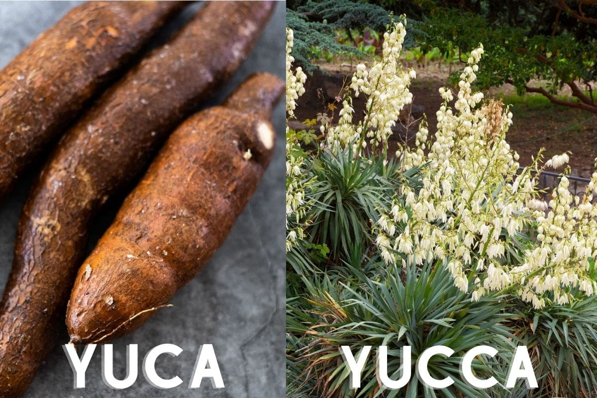 image showing difference between yuca and yucca