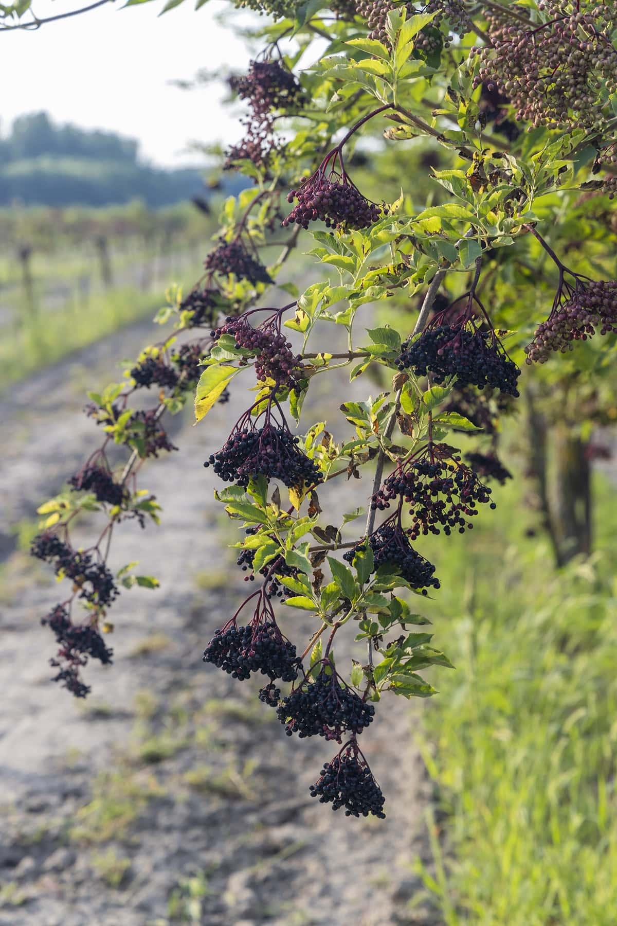 Sambucus Nigra shrub